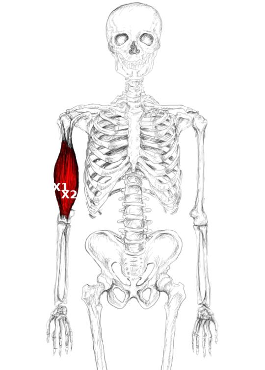 M. Bizeps brachii Schmerzen & Triggerpunkte