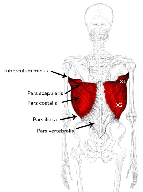 M. Latissimus dorsi Schmerzen und Triggerpunkte