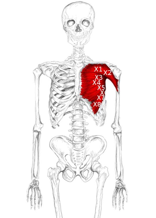 Muscle Teil zu einem Teil der Brust