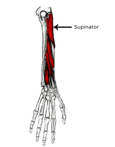 Supinator Schmerzen und Triggerpunkte